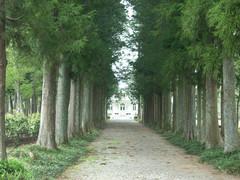 ヒバの並木