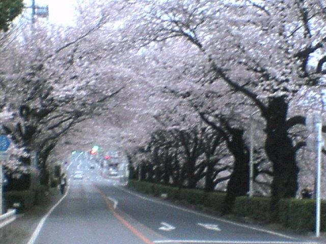新桐生駅前の桜並木