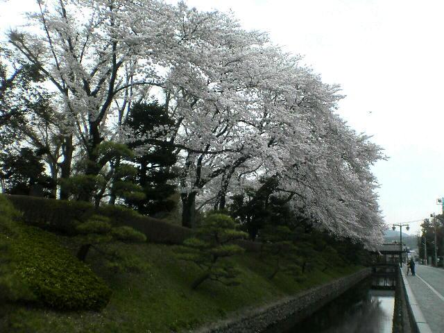 鑁阿寺の桜